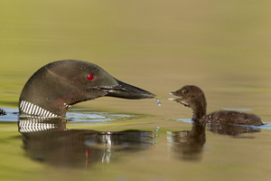 Loons and More - Kamloops, B.C. - Canada