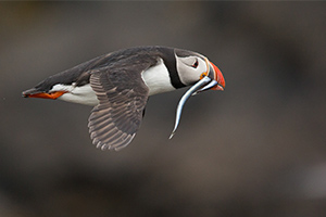 Iceland Photography Tour - Birds of the Arctic